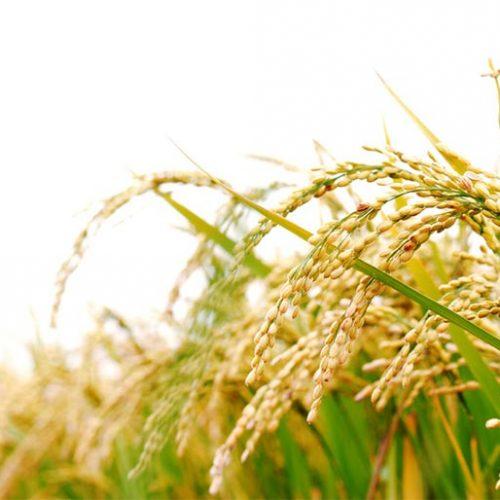 beras nutri zinc organik